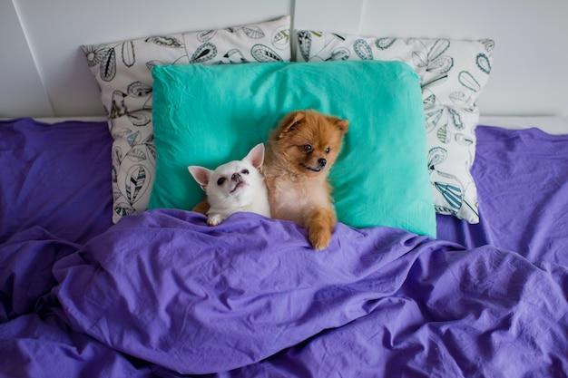 Paia divertenti del cucciolo di pomeranian con il cucciolo della chihuahua che si trova a letto e che abbraccia