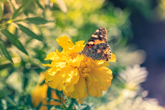 Painted lady vanessa butterfl si siede su un germoglio di calendula giallo