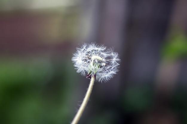Palla soffio tarassaco, palla soffiaggio, testa di seme