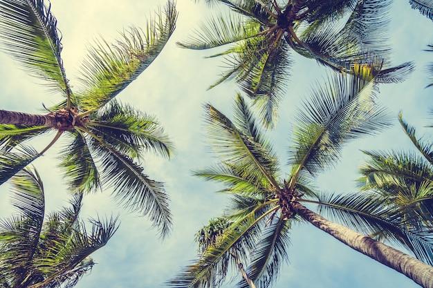 Palma da cocco
