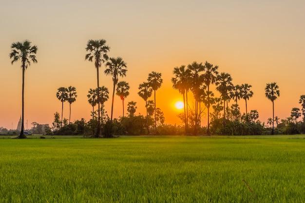 Palma da zucchero e riso archiviati al tramonto