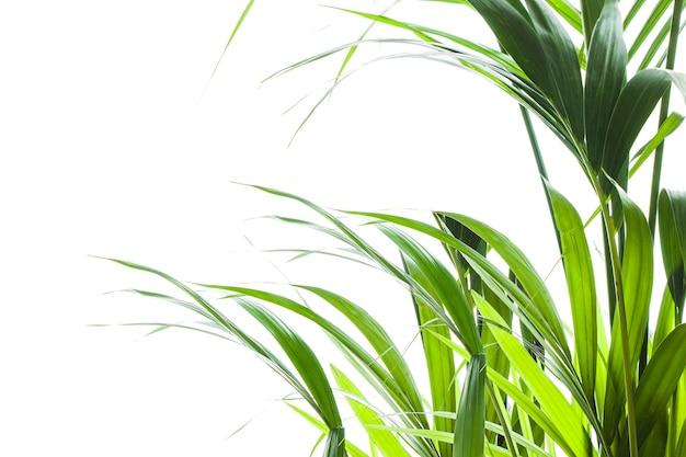 Palma di yallow (chrysalidocarpus lutescens.) foglie su sfondo bianco