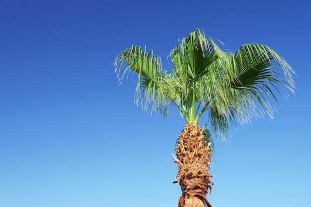 Palma e chiaro cielo blu con spazio vuoto