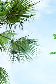 Palma lascia la palma di livistona rotundifolia contro cielo blu.
