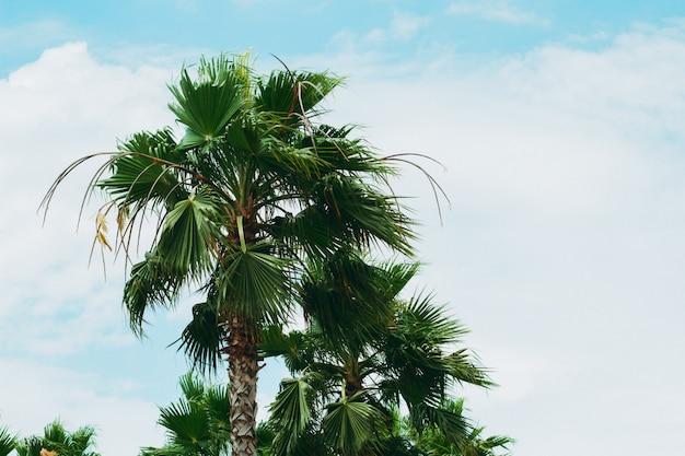Palme di vista inferiore contro il cielo blu