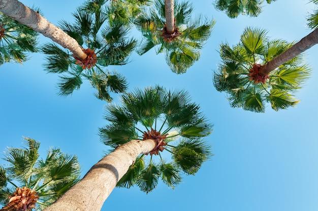 Palme su un cielo blu chiaro, angolo dal basso verso l'alto.