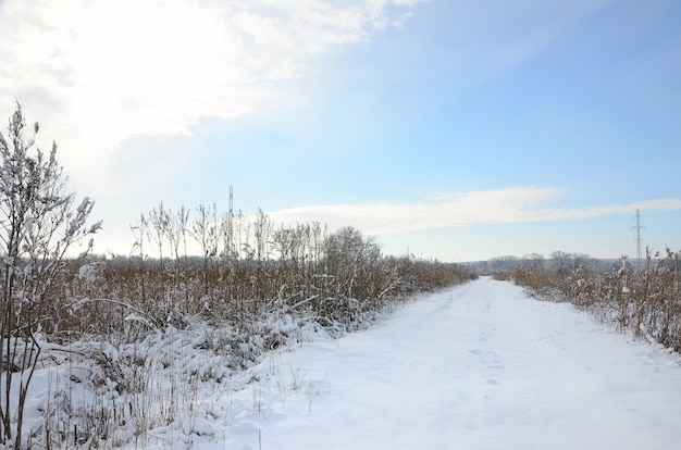 Palude selvaggia coperta di neve con un sacco di canne gialle, coperto da uno strato di neve. paesaggio invernale in palude
