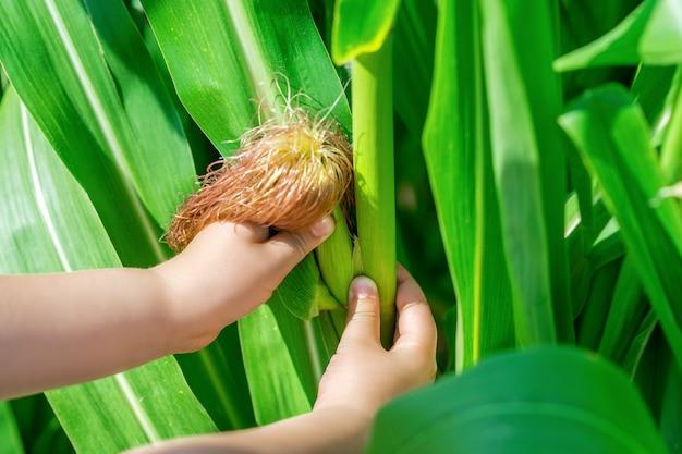 Pannocchia di mais nelle mani del bambino piccolo
