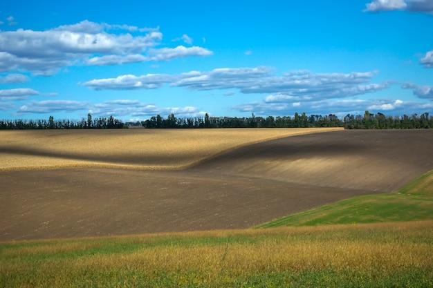 Pannocchie di mais mature nel campo, pieno di grana grossa, contro il cielo.