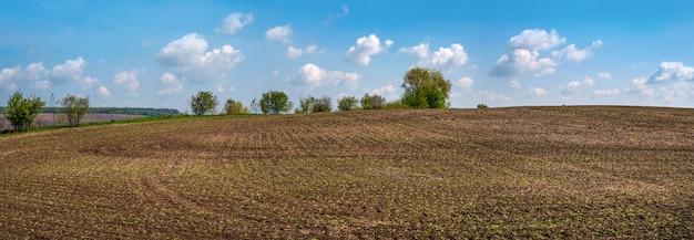 Panorama del campo con la barbabietola da zucchero in primavera