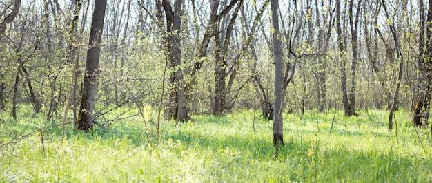 Panorama della foresta primaverile. giovane foresta verde. foresta di primavera