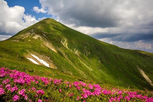 Panorama della molla della montagna con i fiori di fioritura della ruta del rododendro e le toppe di neve sotto il cielo nuvoloso blu.
