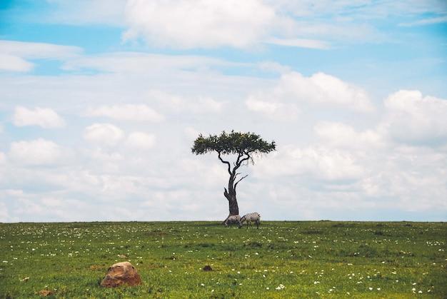 Panoramica di bello singolo albero isolato in un safari con due zebre che pascono l'erba vicino