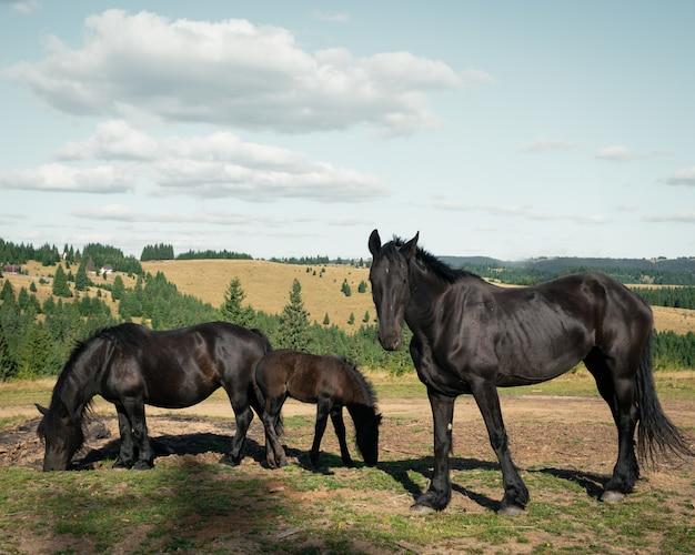 Panoramica di tre cavalli neri nel campo circondato da piccoli abeti sotto il cielo nuvoloso