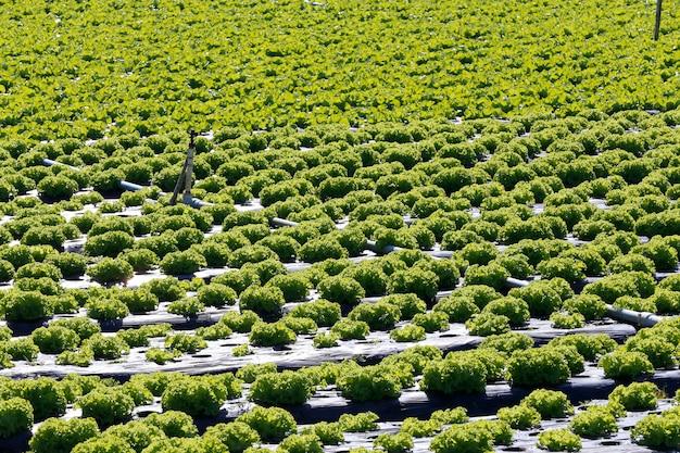 Panoramica sulla piantagione di lattuga