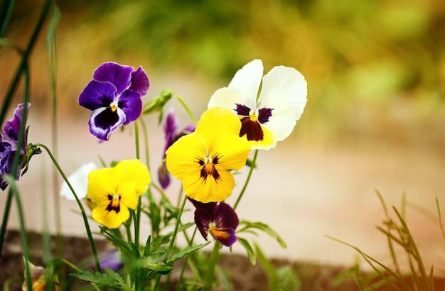 Pansies variopinte di fioritura nel giardino come fondo floreale nel giorno soleggiato.