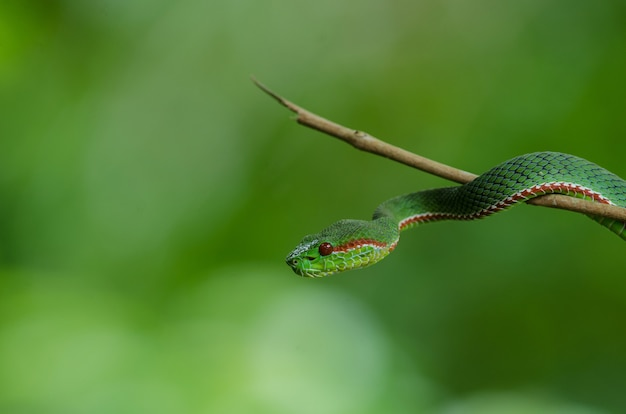 Papa's green pitviper serpente