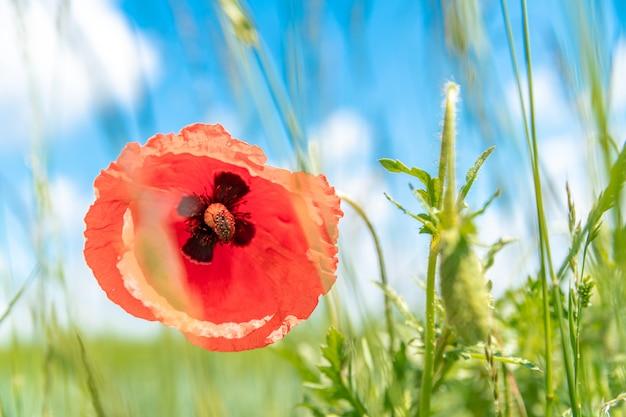 Papaveri rossi fiorirono nel campo. scarabeo seduto su un fiore