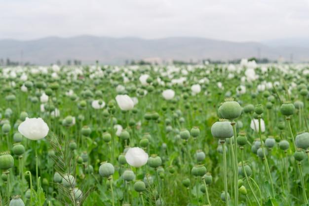 Papavero da oppio. papaver somniferum l, papaveraceae, jatropha multifida l, euphorbiaceae