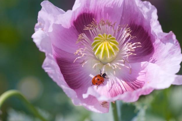 Papavero in fiore nel campo