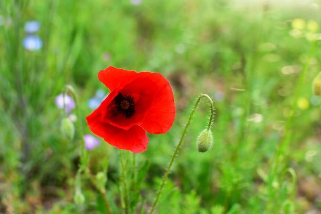 Papavero rosso fresco piacevole nel campo, sui precedenti dell'erba verde.