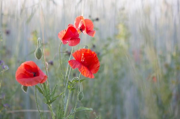 Papavero rosso sul campo soleggiato