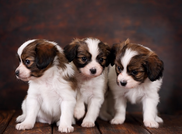 Papillon di tre cuccioli