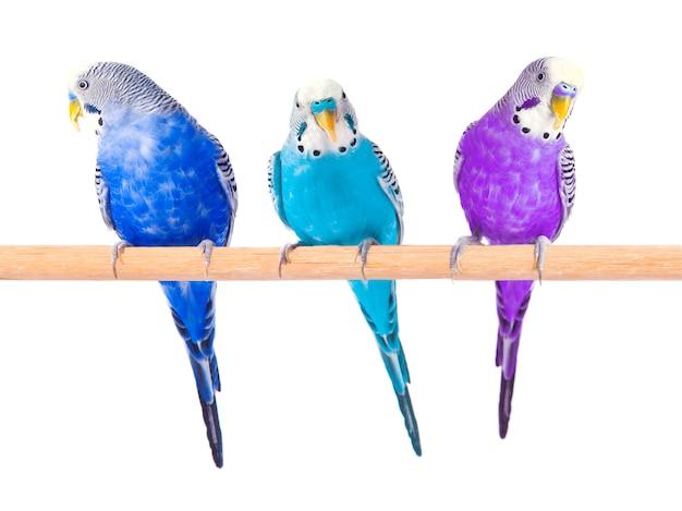Pappagallini colorati isolati su bianco. pappagalli