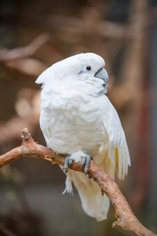 Pappagallo di cacatua bianco in natura
