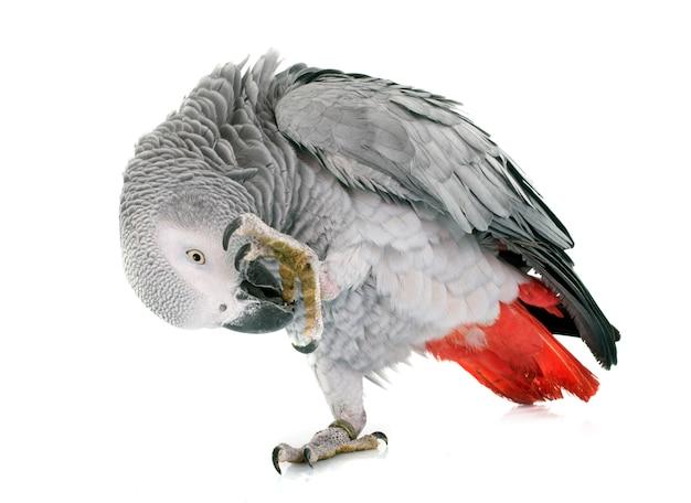 Pappagallo grigio africano