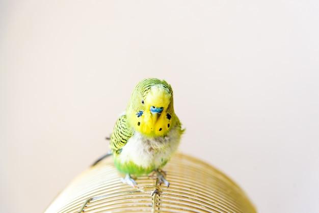 Pappagallo pappagallino domestico, pollame con problemi di salute dopo la muta. un budgerigar con petto spennato, senza piume.