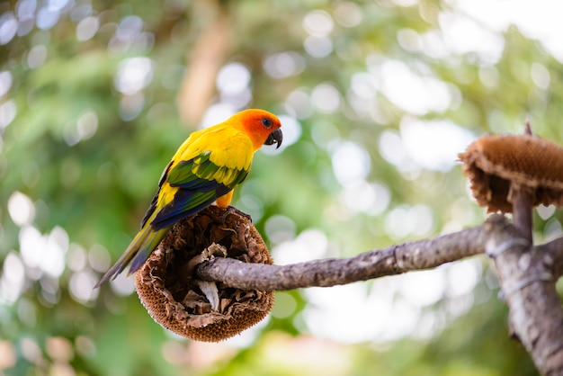 Pappagallo, pappagallo variopinto, pappagallo dell'ara, ara variopinto