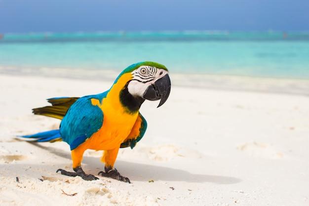 Pappagallo variopinto luminoso sveglio sulla sabbia bianca in maldive