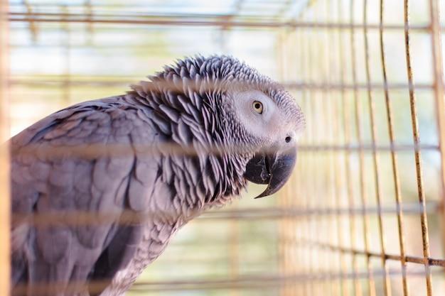 Pappagallo yaco (psittacus erithacus) nella sua gabbia per uccelli