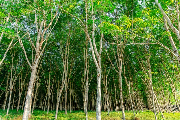 Para albero di gomma, piantagione di gomma di lattice e gomma albero