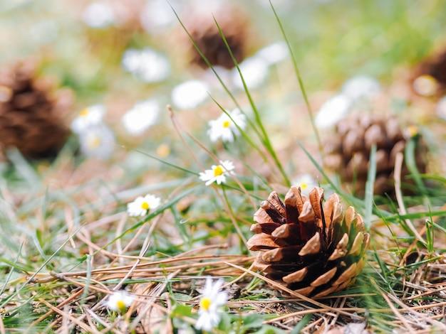 Parecchi coni di pino o di pelliccia caduti sulla terra nella foresta con i fiori della margherita in un giorno di estate. schiarimento nei boschi con doni foresta - camomilla e coni. parete della natura decorazione estiva.