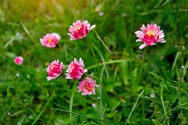 Parecchi fiori rossi sull'erba verde