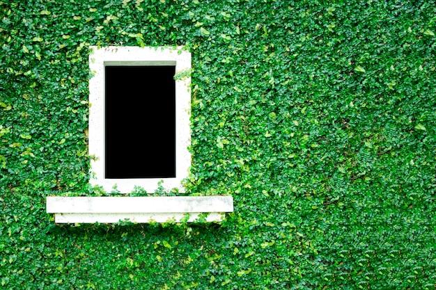 Parete verde naturale della copertura dell'erba della foglia con la finestra bianca