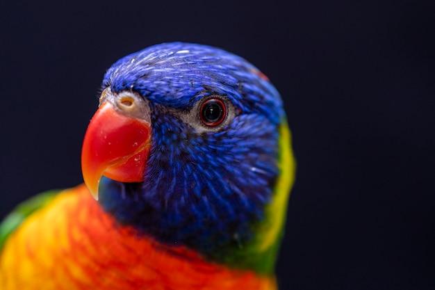 Parrot trichoglossus moluccanus sul pesce persico in legno.