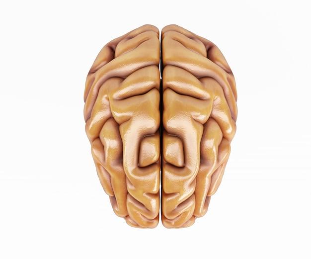 Parte anteriore di un cervello