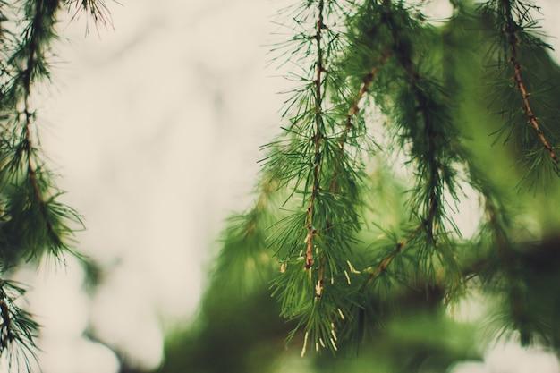 Particolare del ramo di albero di abete