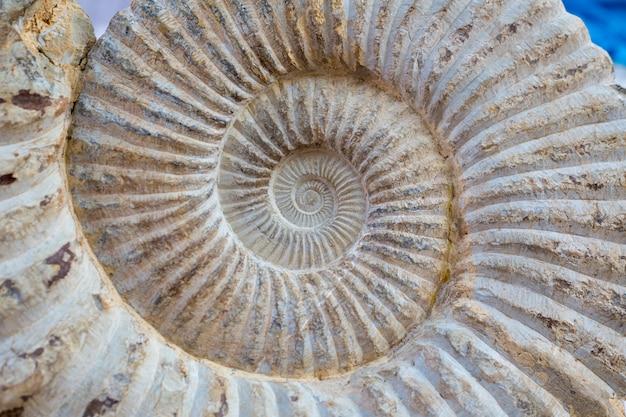 Particolare fossile di spirale di lumaca antica