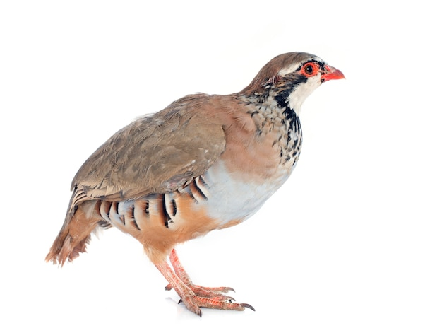 Partridge francese, alectoris rufa