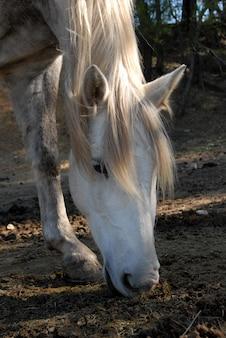 Pascolo del cavallo bianco