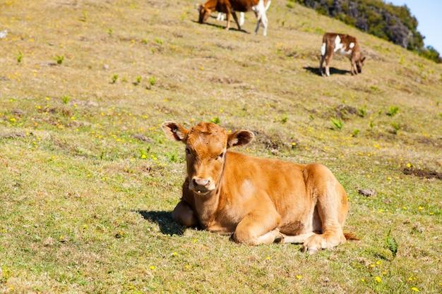 Pascolo della mucca e del vitello nelle montagne madera