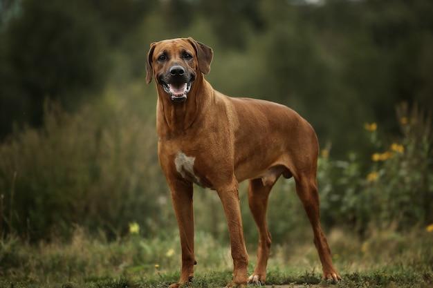 Passeggiata rhodesian del ridgeback del cane all'aperto su un campo