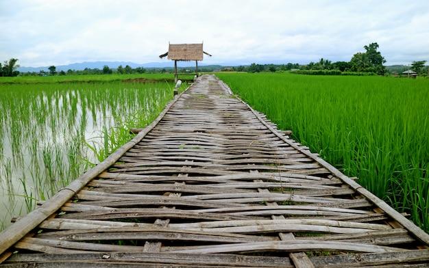 Passerella di bambù sopra il campo di risaia verde che conduce al padiglione ricoperto di paglia del tetto, tailandia