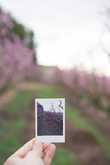 Passi la tenuta che prende la foto del fiore di ciliegia nel tempo di primavera.