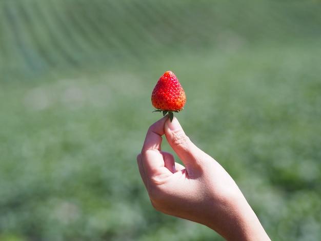 Passi la tenuta della fragola rossa sopra il fondo verde confuso dell'azienda agricola