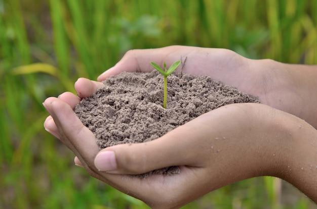 Passi la tenuta della plantula piccola, il giovane albero sul fondo verde del riso